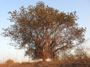 A photo of a banyan tree in India.